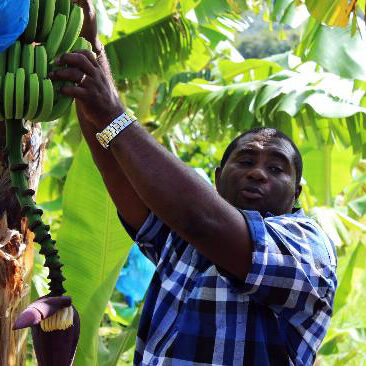 Small, tour guide, Banana plantation, Spencer Ambrose Tours, St. Lucia